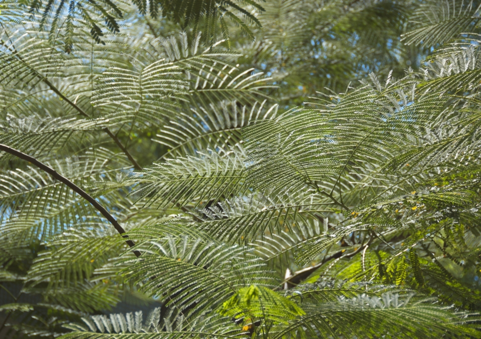 a close up image of green acacia fronds